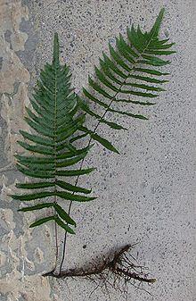 Thelypteris httpsuploadwikimediaorgwikipediacommonsthu