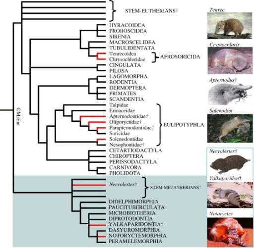 Theria Composite phylogeny of therian mammals illustrating the Openi
