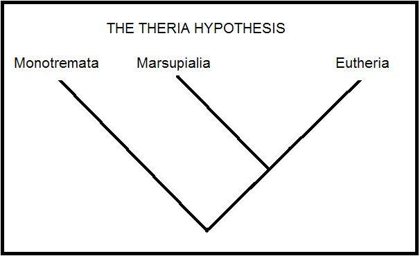 Theria EchidnasUcPhylogenicTree The theria hypothesisdocx