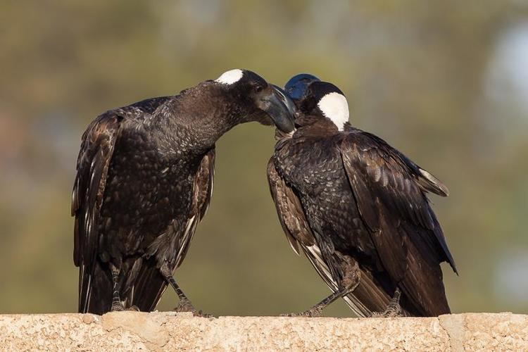 Thick-billed raven Thickbilled Raven Corvus crassirostris videos photos and sound