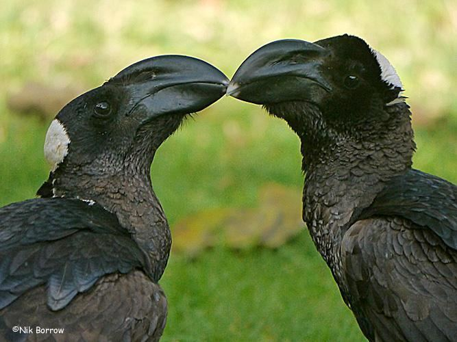 Thick-billed raven Thickbilled Raven Corvus crassirostris Bill to bill the