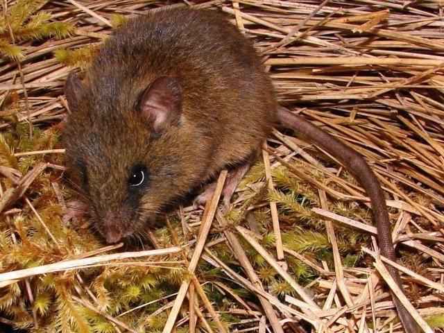 Thomasomys Discovery of Mammals Identify species Beginner Mode Mammals39Planet