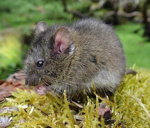 Thomasomys Species Sheet Mammals39Planet