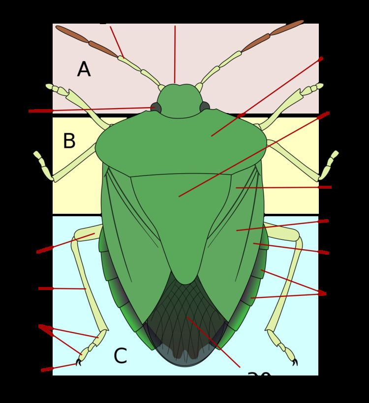 Thorax (insect anatomy)