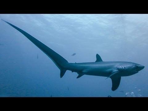 Thresher shark THRESHER SHARKS KILL PREY WITH TAIL YouTube