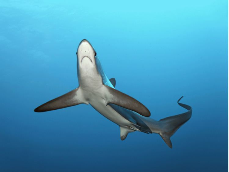 Thresher shark Anglers land 39recordbreaking39 368lb thresher shark off coast of