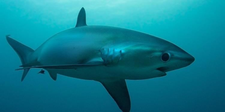 Thresher shark BBC Earth Sharks are helping the Philippines recover from a typhoon