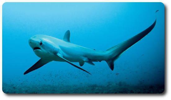 Thresher shark Learn Some Amazing Thresher Shark Facts Right Here Shark Sider
