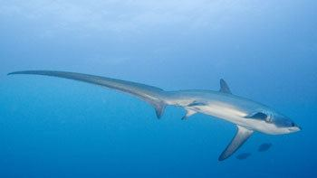 Thresher shark Shark Diving in Malapascua with Thresher Sharks