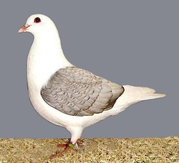 Thuringian Colour pigeons