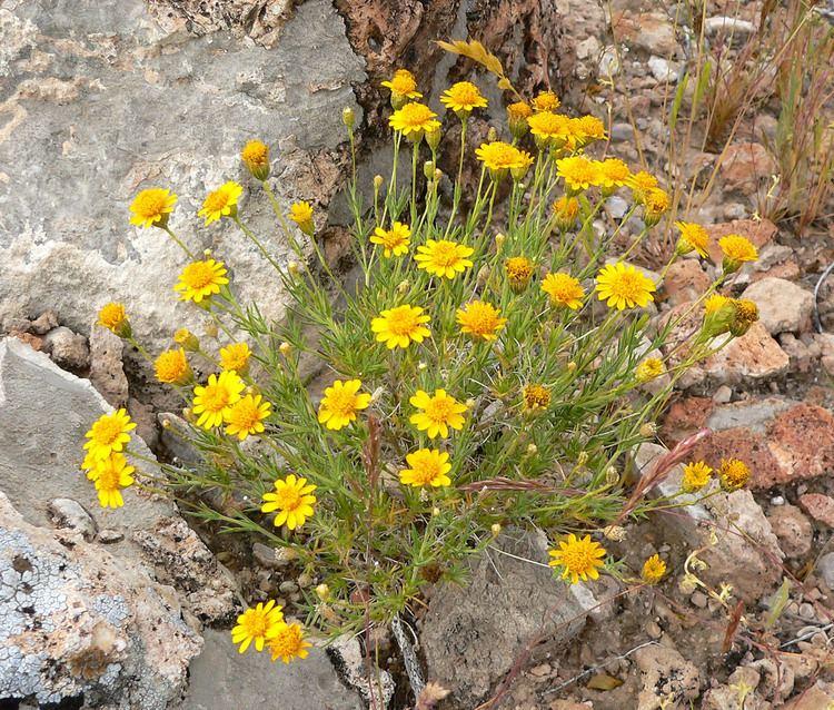Thymophylla Thymophylla plant lust