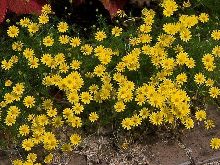 Thymophylla httpsnewfss3amazonawscomtaxonimages1000s1