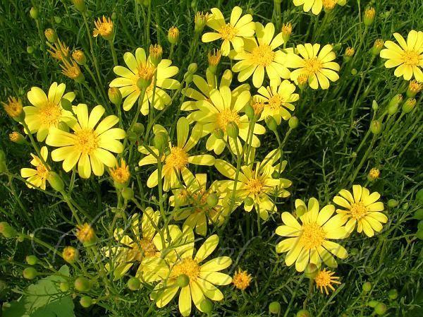 Thymophylla Thymophylla tenuiloba Dahlberg Daisy