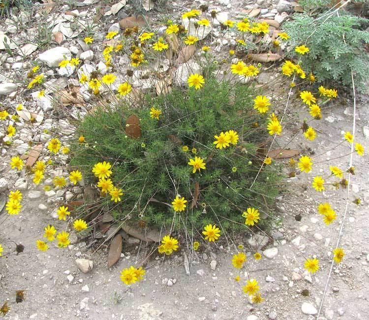 Thymophylla pentachaeta THYMOPHYLLA PENTACHAETA