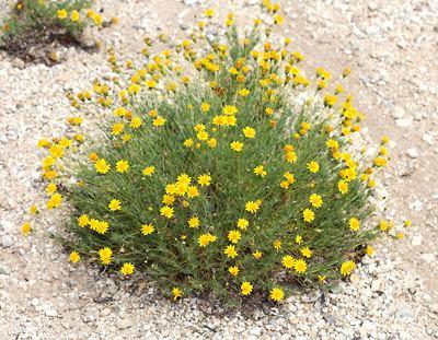 Thymophylla pentachaeta Thymophylla pentachaeta Fiveneedle Pricklyleaf Fiveneedle