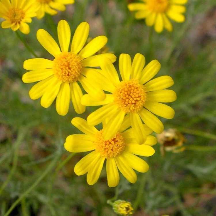 Thymophylla pentachaeta SEINet Arizona Chapter Thymophylla pentachaeta