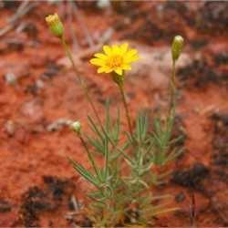 Thymophylla pentachaeta hasbrouckasueduimglibseinetAsteraceaephotos