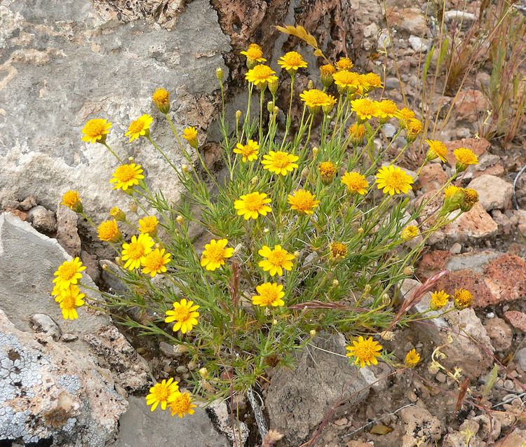 Thymophylla pentachaeta FileThymophylla pentachaeta var belenidium 3jpg Wikimedia Commons