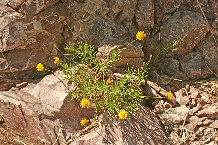 Thymophylla pentachaeta Vascular Plants of the Gila Wilderness Thymophylla pentachaeta var