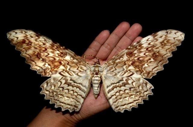 Thysania agrippina Thysania agrippina Nature Wonders Pinterest Owl and Moth