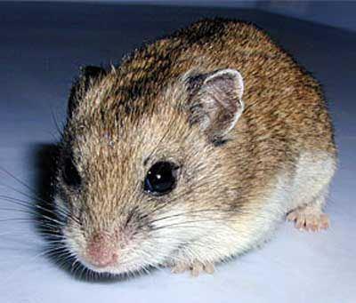 Tibetan dwarf hamster httpssmediacacheak0pinimgcom564x479038