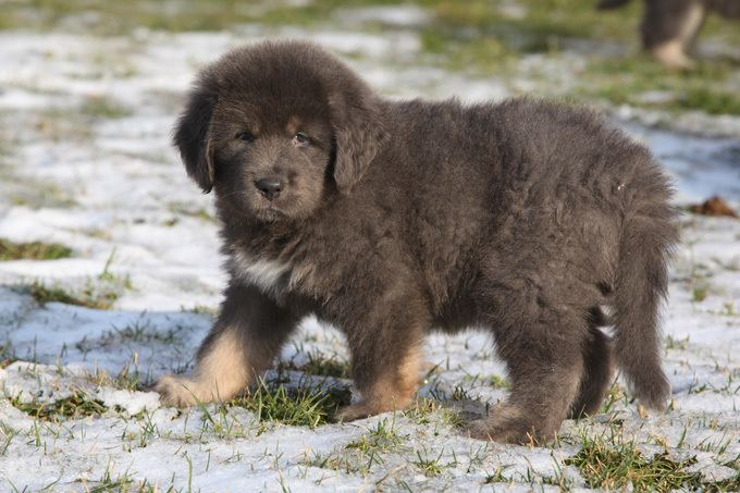Tibetan Mastiff - Alchetron, The Free Social Encyclopedia