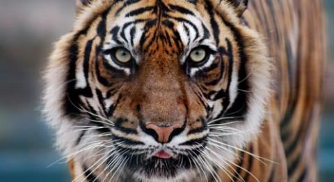 Tiger Tiger Basic Facts About Tigers Defenders of Wildlife