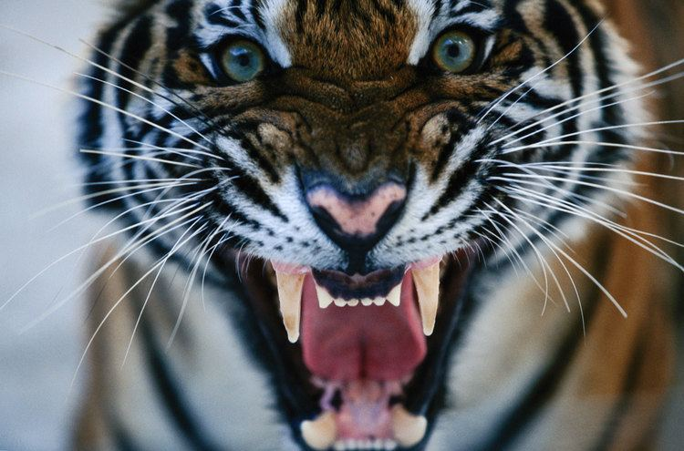 Crime Blotter Tiger Fangs Ivory and More