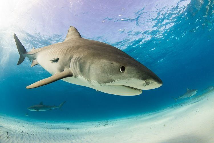 Tiger shark yourshotnationalgeographiccomussfQYSUbVftsT7