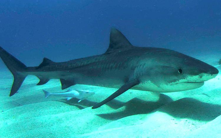 Tiger shark Tiger Shark Shark Facts and Information
