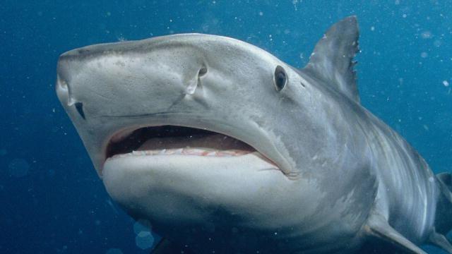 Tiger shark Tiger Shark Shark Week Discovery