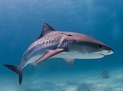 Tiger shark Tiger shark Wikipedia