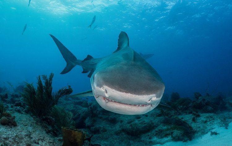 Tiger shark Tiger Sharks Tiger Shark Pictures Tiger Shark Facts National