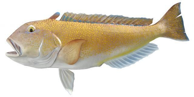 Tilefish Tilefish Size Reproductive Season Habitat Species and Mercury