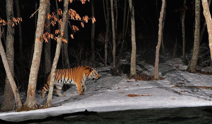 Toshiji Fukuda Tigers untrapped 11 images from Toshiji Fukuda WWF UK Blog