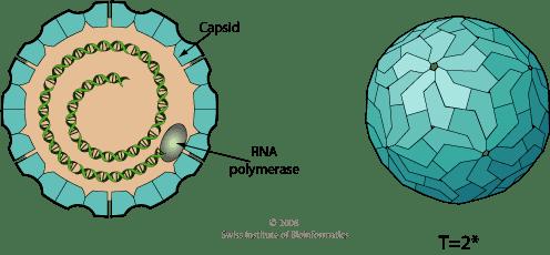 Totiviridae educationexpasyorgimagesTotiviridaevirionpng