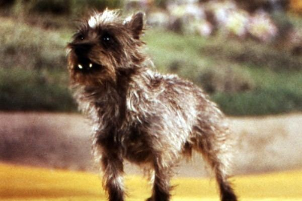 Toto (Oz) Toto the Dog in the Wizard of Oz