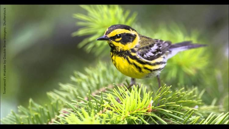 Townsend's warbler Townsend39s Warbler Song YouTube