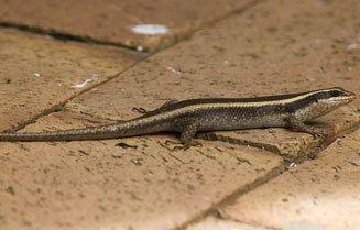 Trachylepis striata wwwbiodiversityexplorerorgreptilessquamatasci