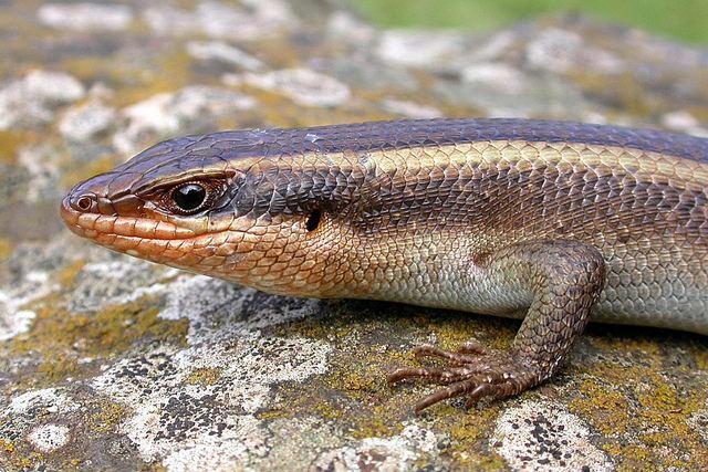 Trachylepis striata Trachylepis striata The Reptile Database
