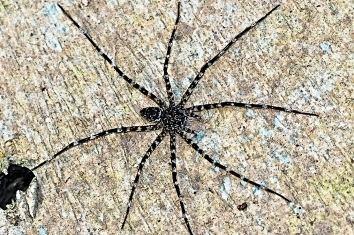 Trechaleidae Trechaleidae sp insectsch