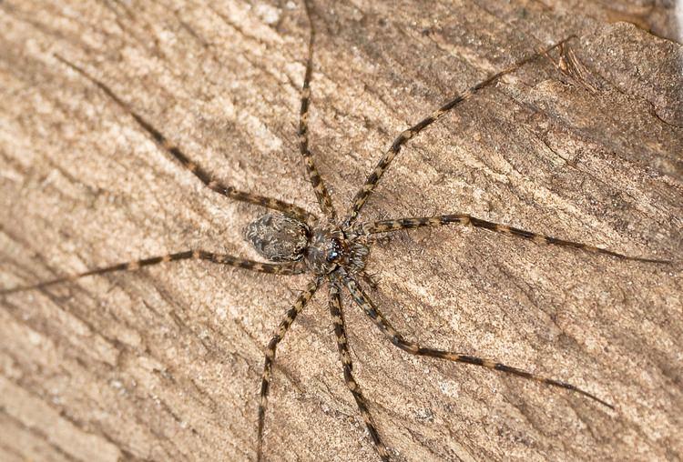 Trechaleidae Fischerspinne Trechaleidae sp insectsch