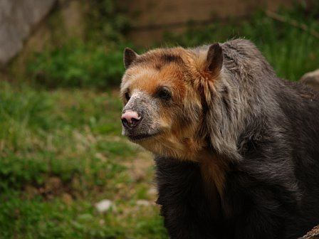 Tremarctos floridanus Photo of the Day 74 Spectacled Bear Laelaps