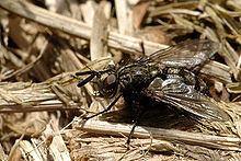 Triarthria setipennis httpsuploadwikimediaorgwikipediacommonsthu