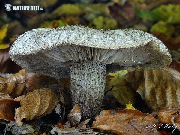 Tricholoma atrosquamosum Knight Tricholoma atrosquamosum var squarrulosum Mushroom