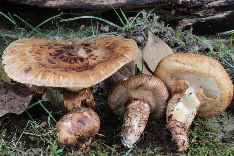 Tricholoma caligatum Tricholoma caligatum Tricholome guetre Qubec Canada Fo Flickr