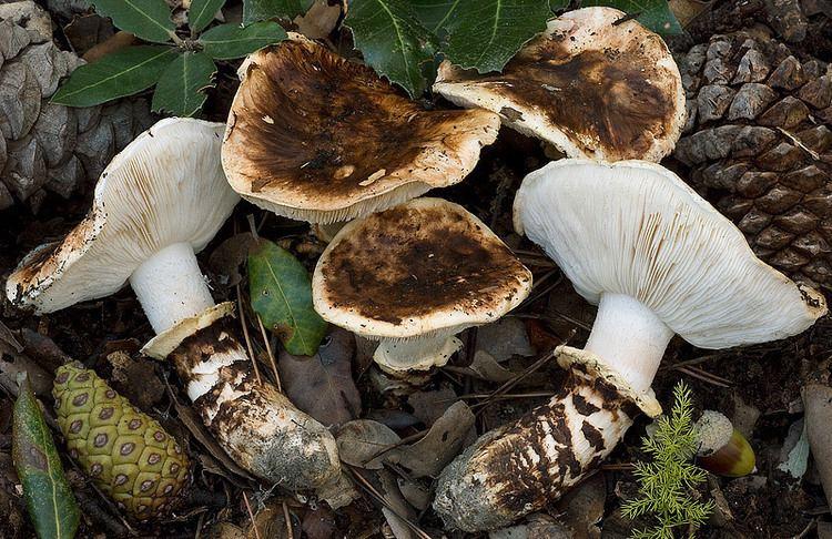 Tricholoma caligatum Fungal Forum View topic Lets talk Mats
