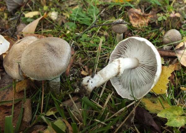 Tricholoma cingulatum Tricholoma cingulatum Girdled Knight mushroom