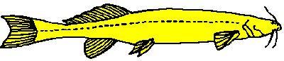 Trichomycteridae PlanetCatfishcom The catfish family Trichomycteridae CateLog