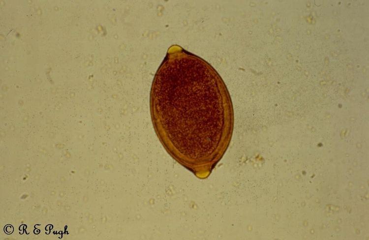 Trichuris vulpis parasiteorgaupughcollectionJpegsStampedTrich
